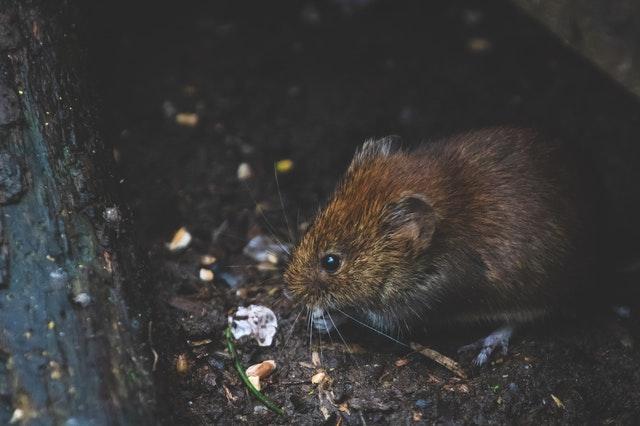 lutter contre les rats toupiers